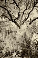 Everglade Oak