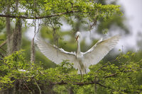Great Egret The Delivery
