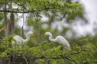 Great Egret The Transfer