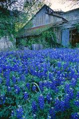 Abandoned Barn And Bluebonnets