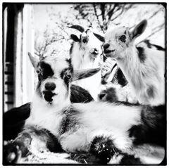 Three Goats Chillin'
