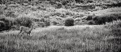Coulee Deer