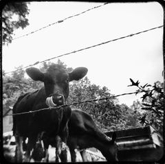 Cow Lick