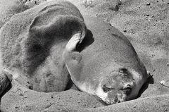 Sand Bathing Elephant Seal