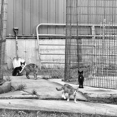 Five Farm Cats
