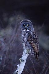 Great Gray Owl On Birch