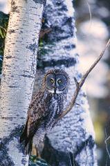 Great Gray Owl On Aspen