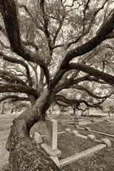 Guardian Oak