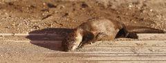Sand Bathing River Otter