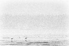 Sandhill Cranes In Blizzard