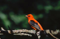 Scalet Tanager