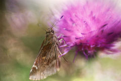 Skipper And Thistle