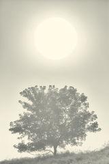 Sun, Tree, Fog