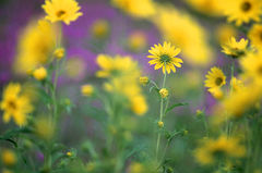 Sunflower And Blazing Star