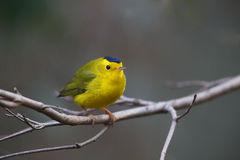 Wislon's Warbler