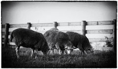 Amish Sheep