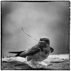 Nest Building Barn Swallow