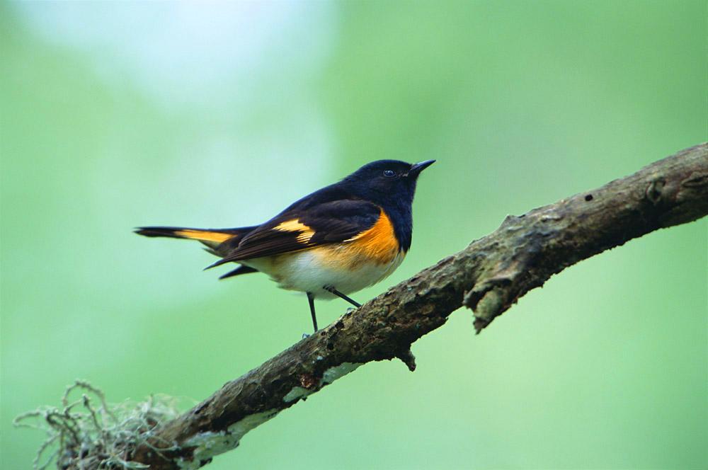 bird, migrant, warbler