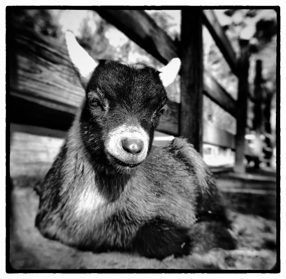 goat, baby goat