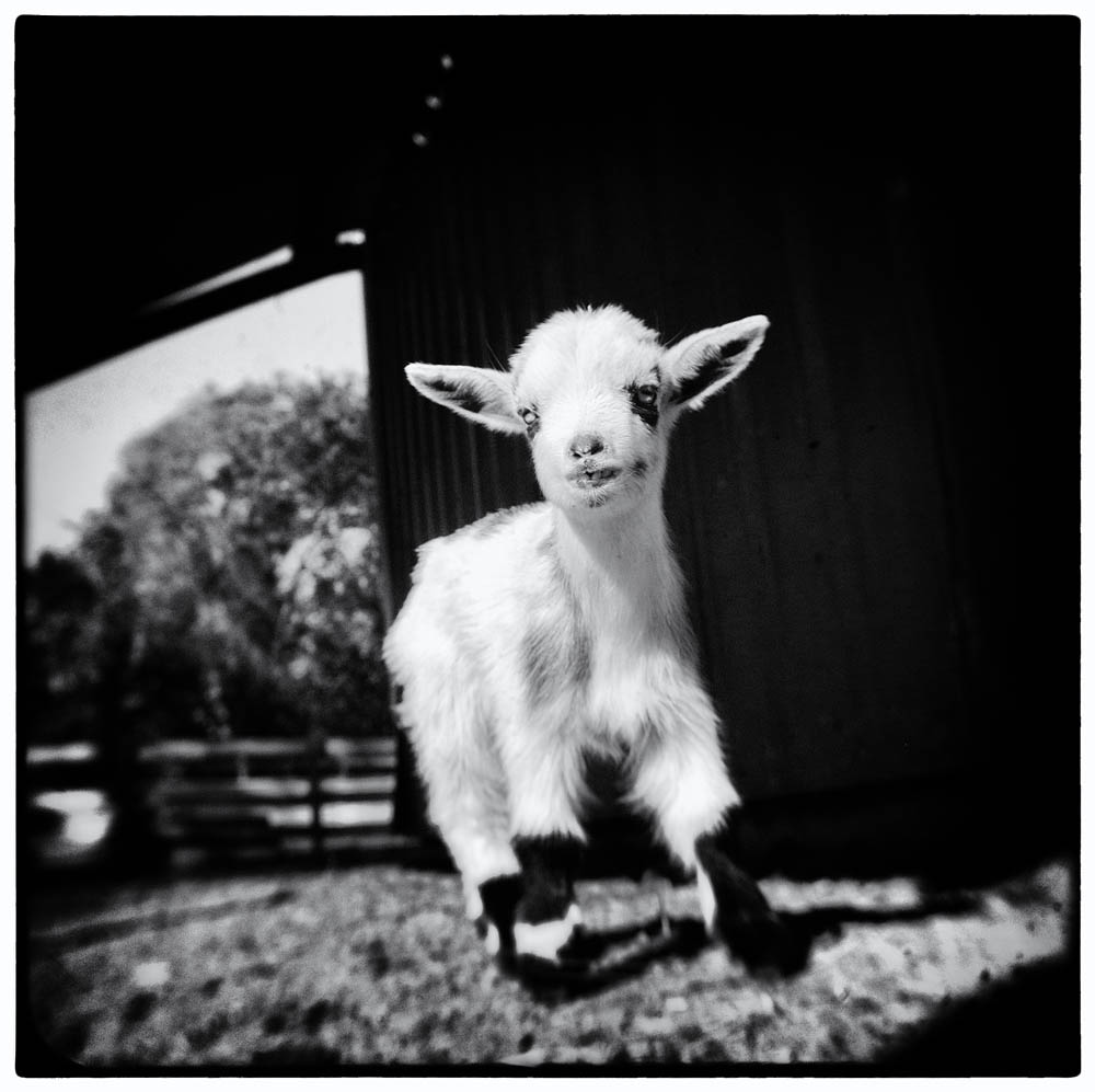 baby goat, goat