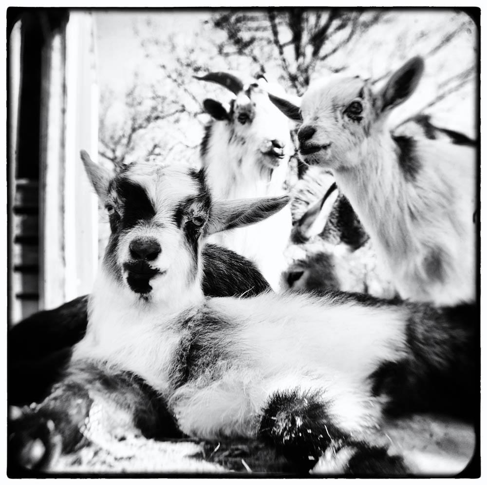 goats, baby goats