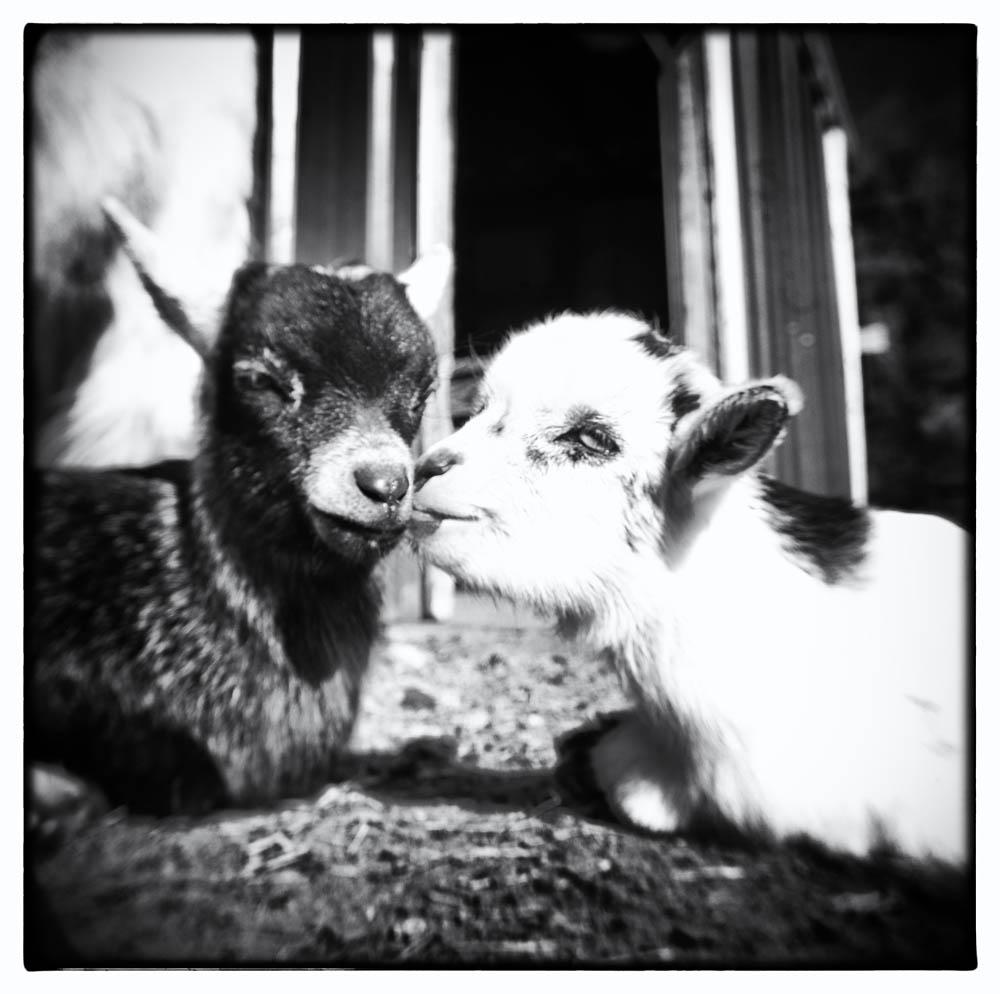 baby goats, goats