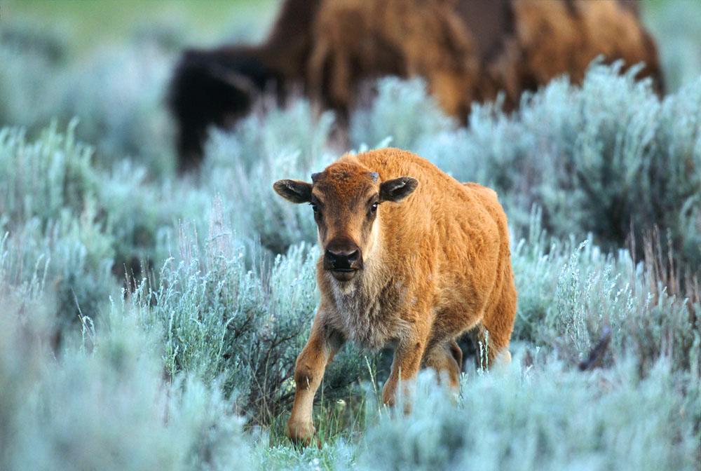 Bison, Wildlife, Prairie
