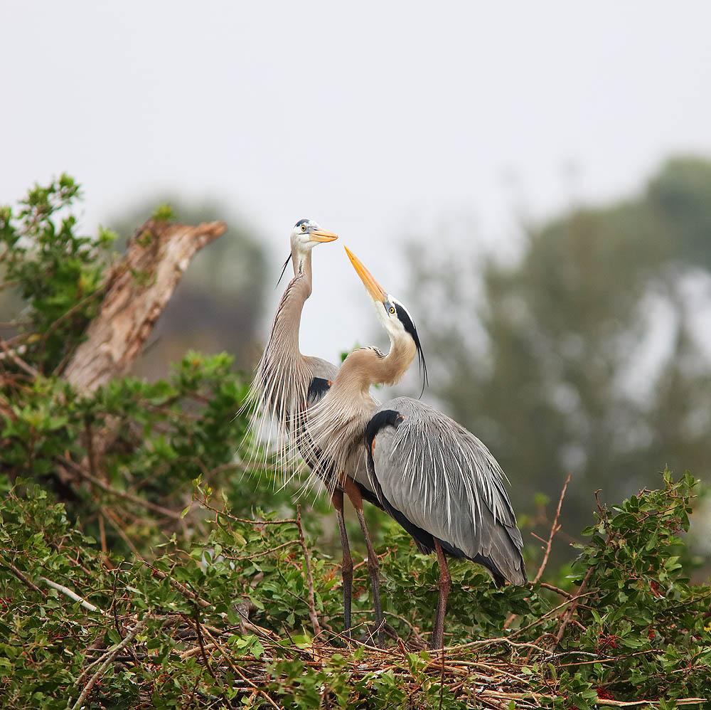 Nest, Heron, Bird