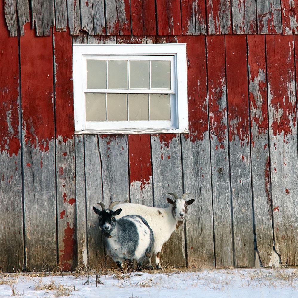 Goat, Goats, Red Barn, Barn, Winter