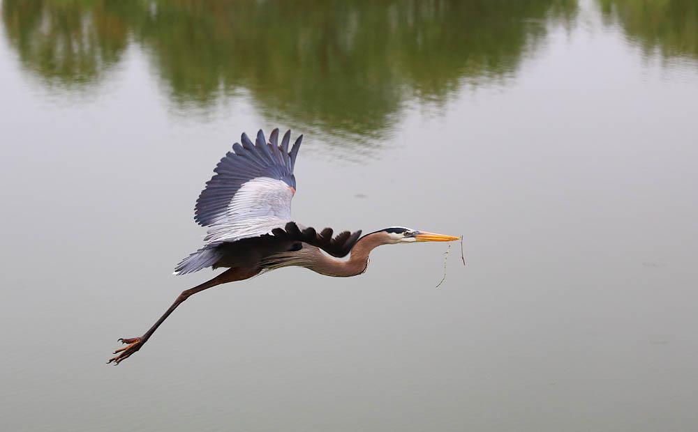 Heron, Bird, flight, landing bird
