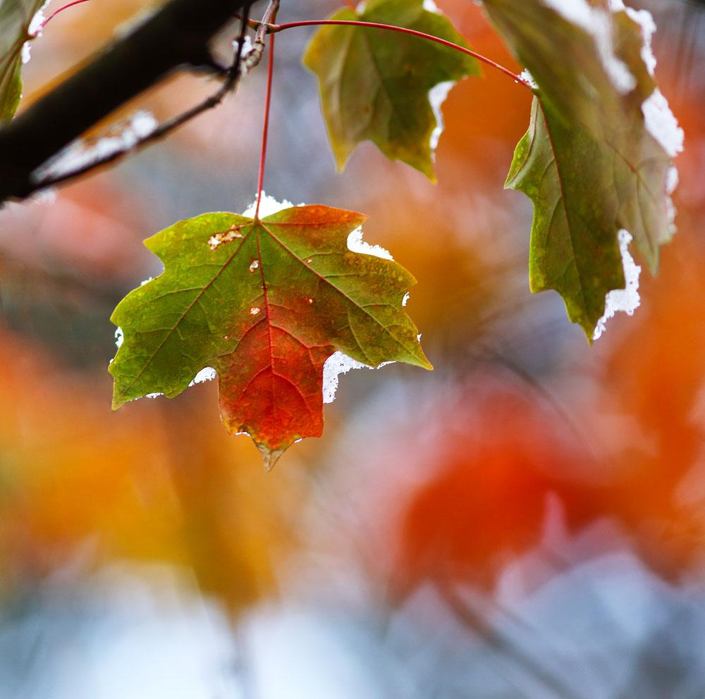 Maple Leaf, Snow On Leaf