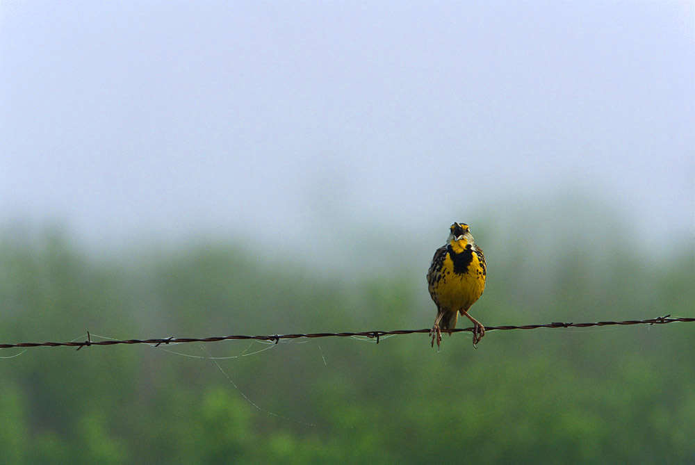 Bird, Prairie, meadowlark