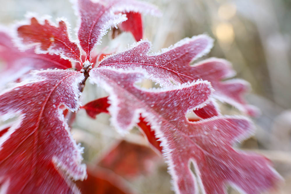 Tree, Frost, Leaf