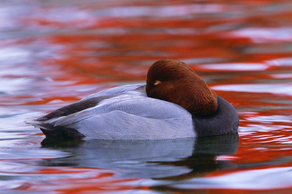 Duck, Wetland, Waterfowl, Prairie