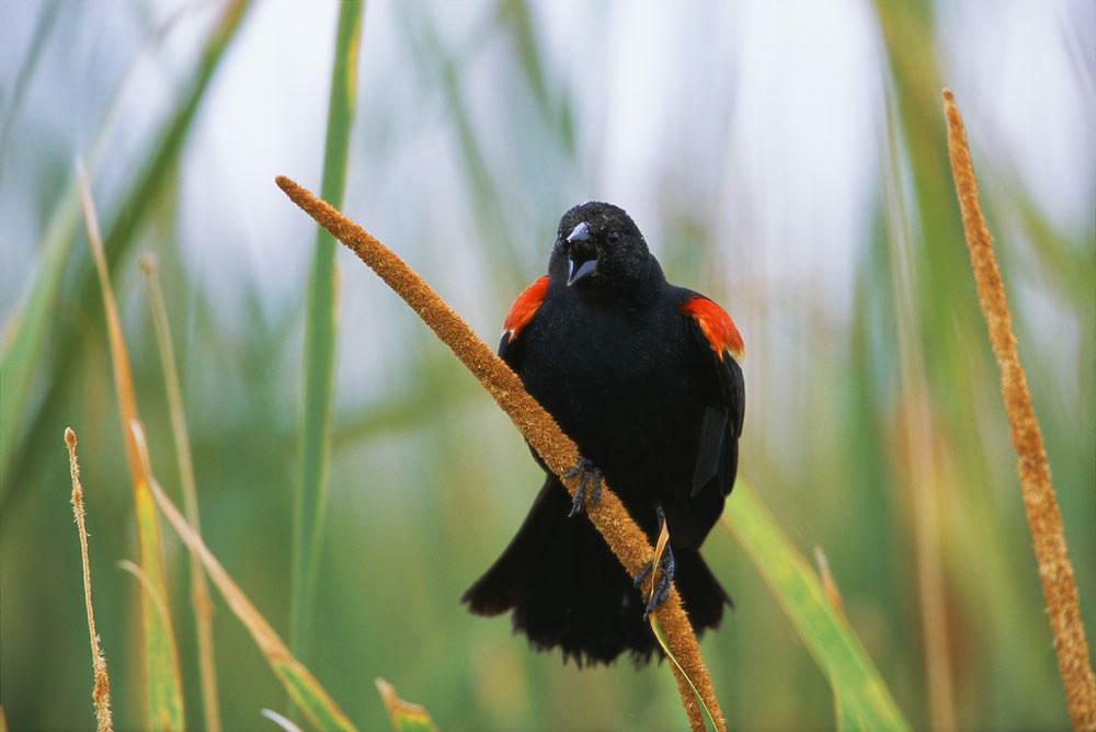 Birds, Redwing Black bird, Prairie