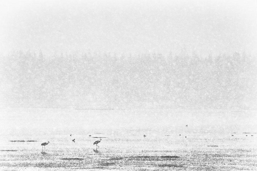 cranes, snow