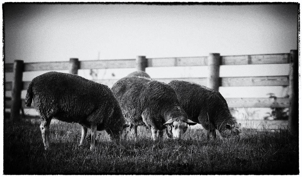 Sheep, Farm