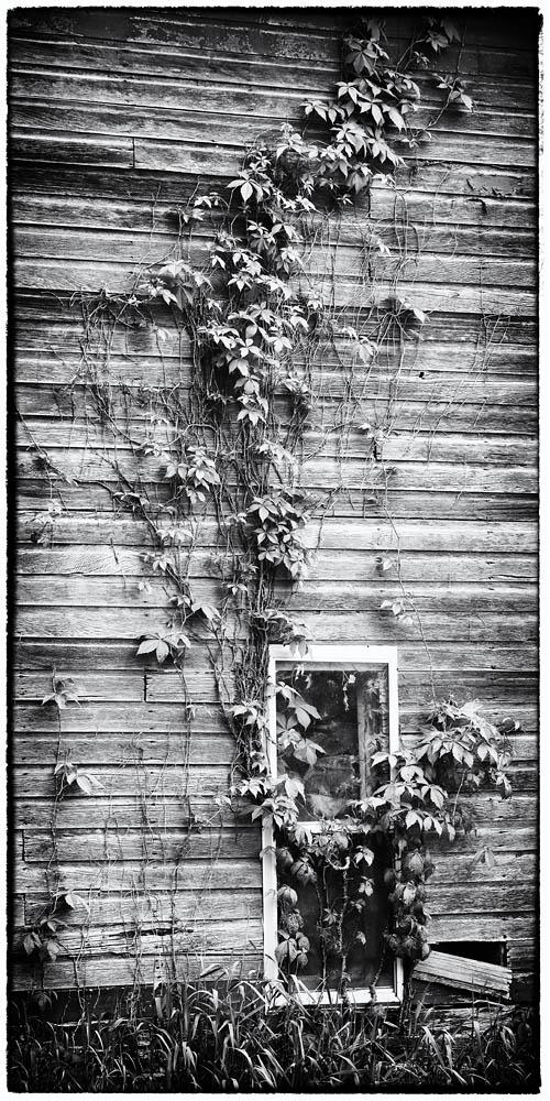 Barn, vines on barn