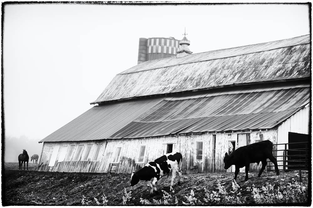 Barn, Cows, Horse