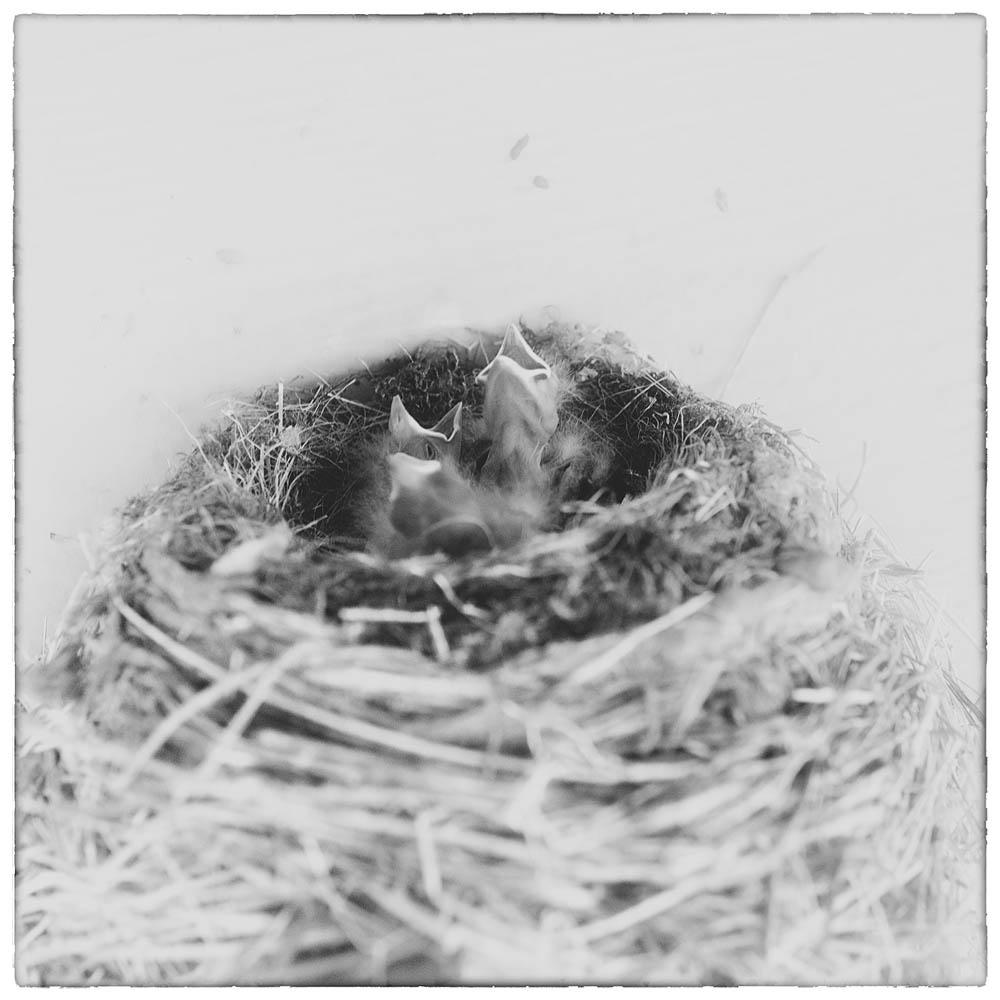 bird, bird chicks, bird babies