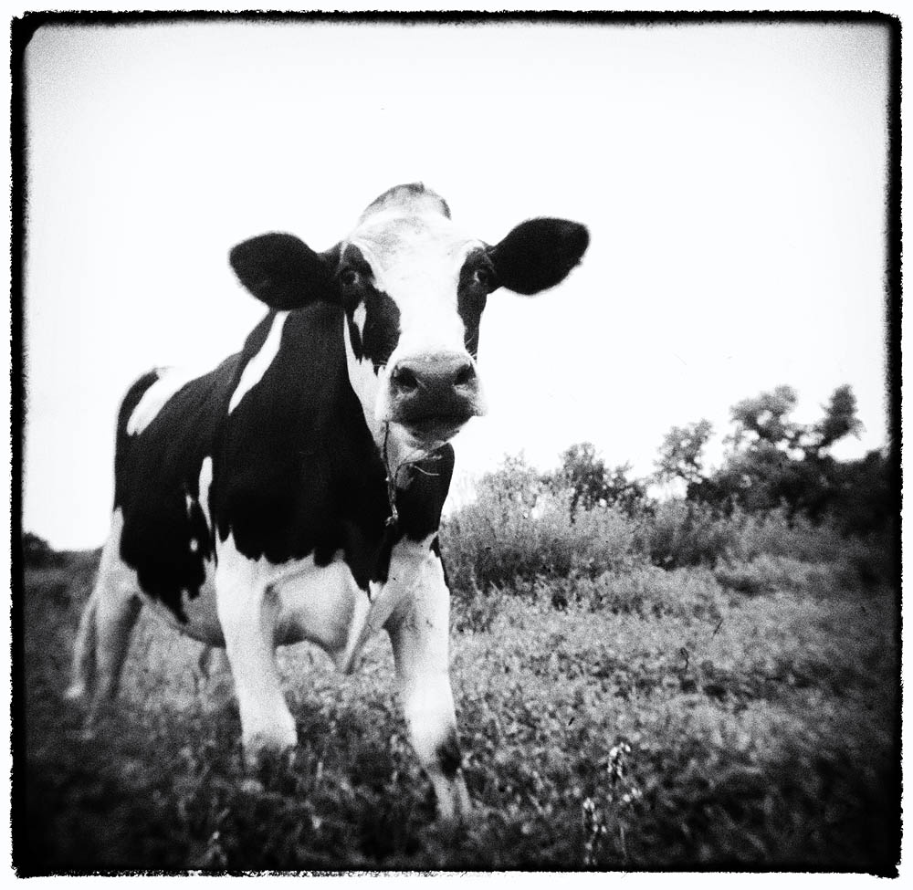 Cows, Cow