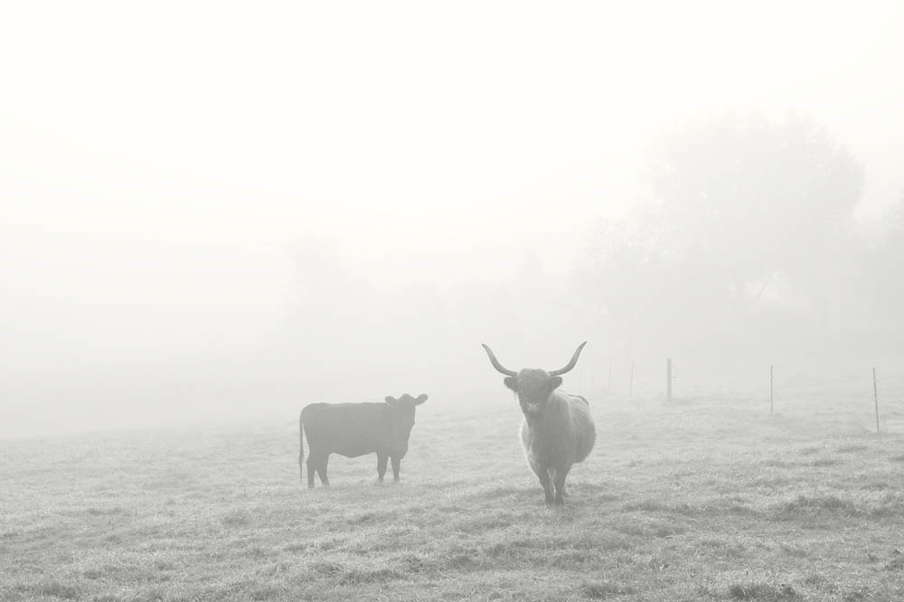 Cows, Highland Cow, Angus Cow