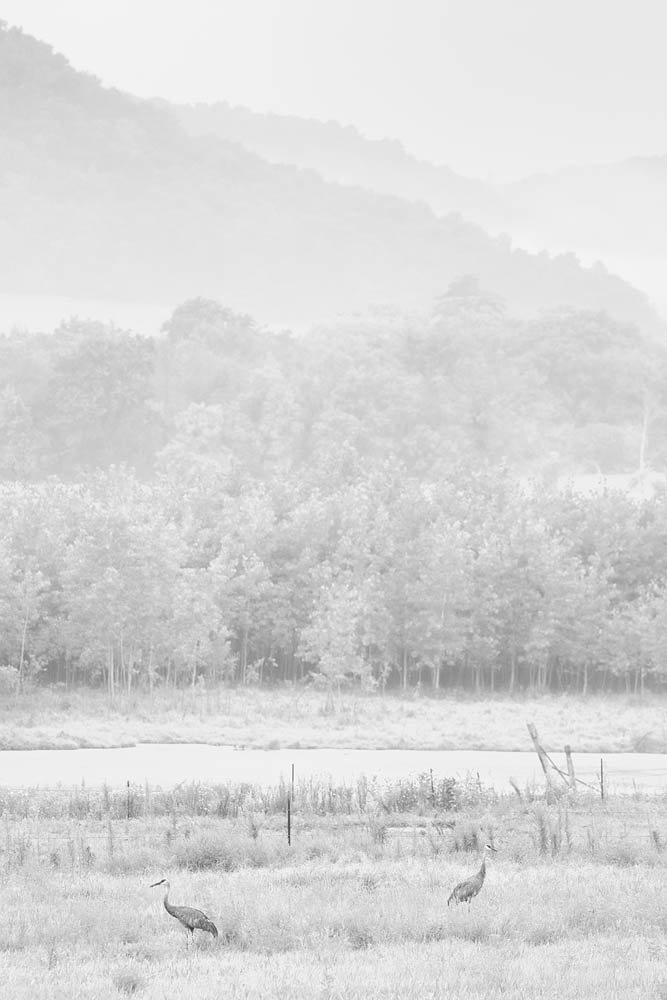 Cranes, Sandhill Crane, Fog