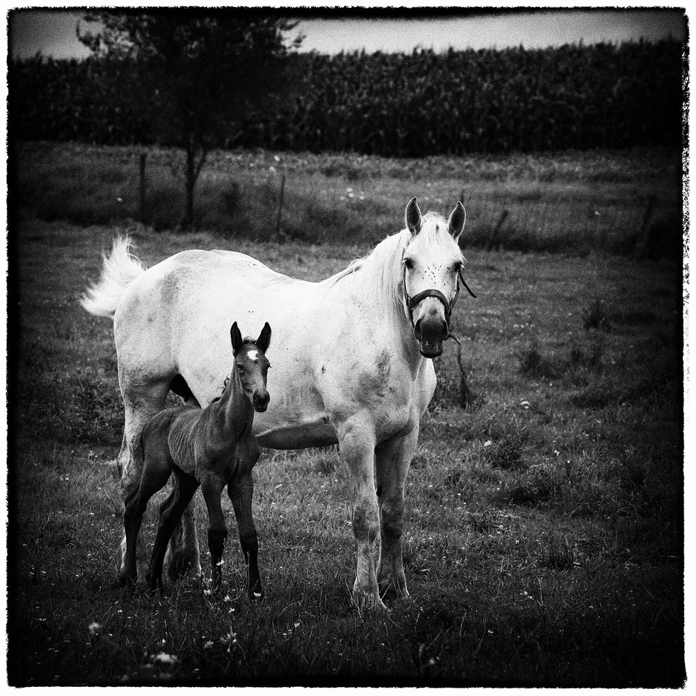 horse, horse and foal, foal