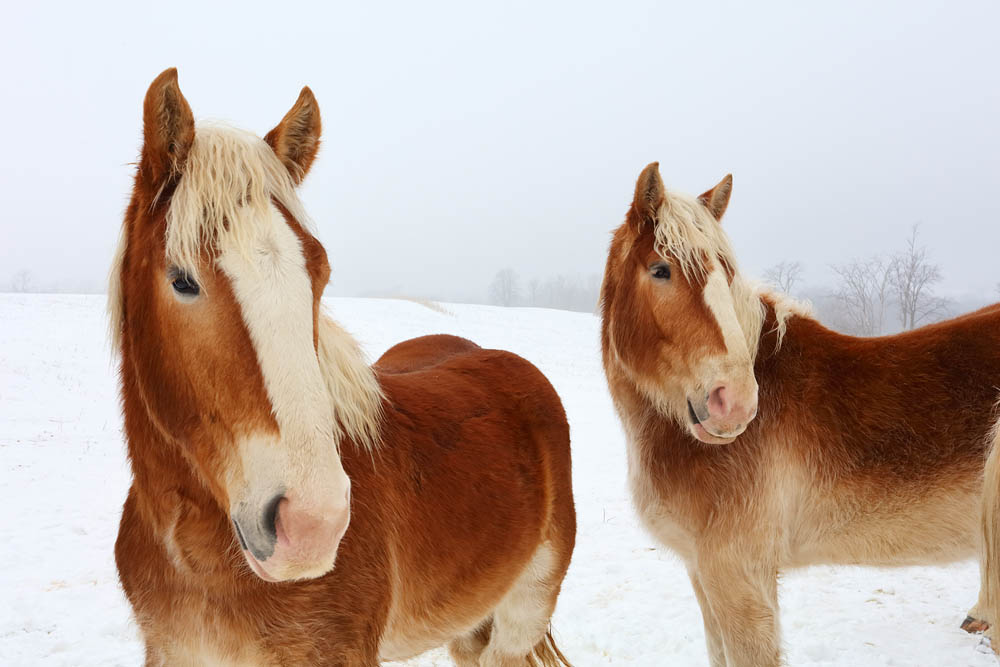 Horses, Snow, Two Horses